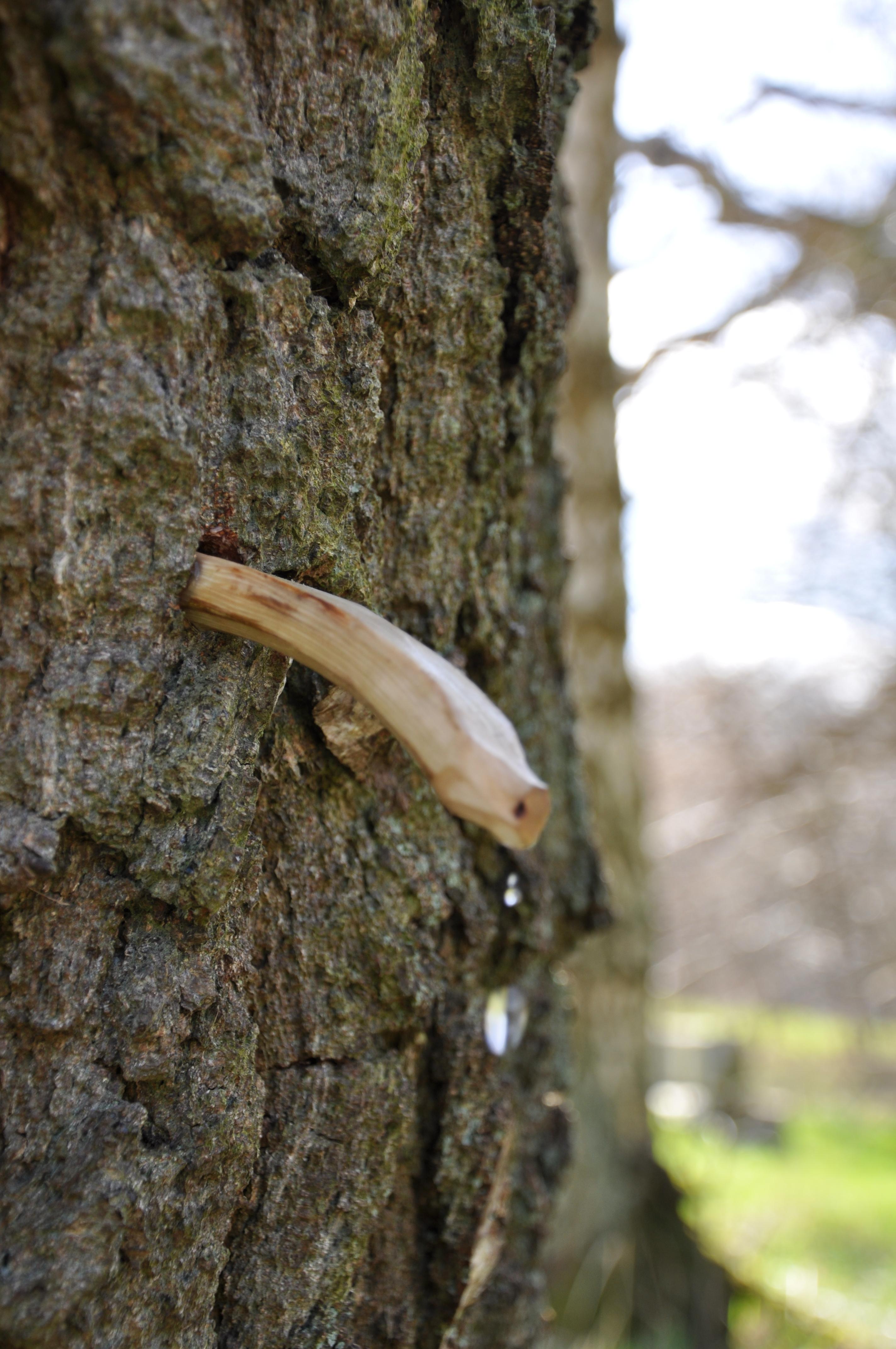Fremgangsmåde ved tapning af birketræer og birkesaft vaerude.dk