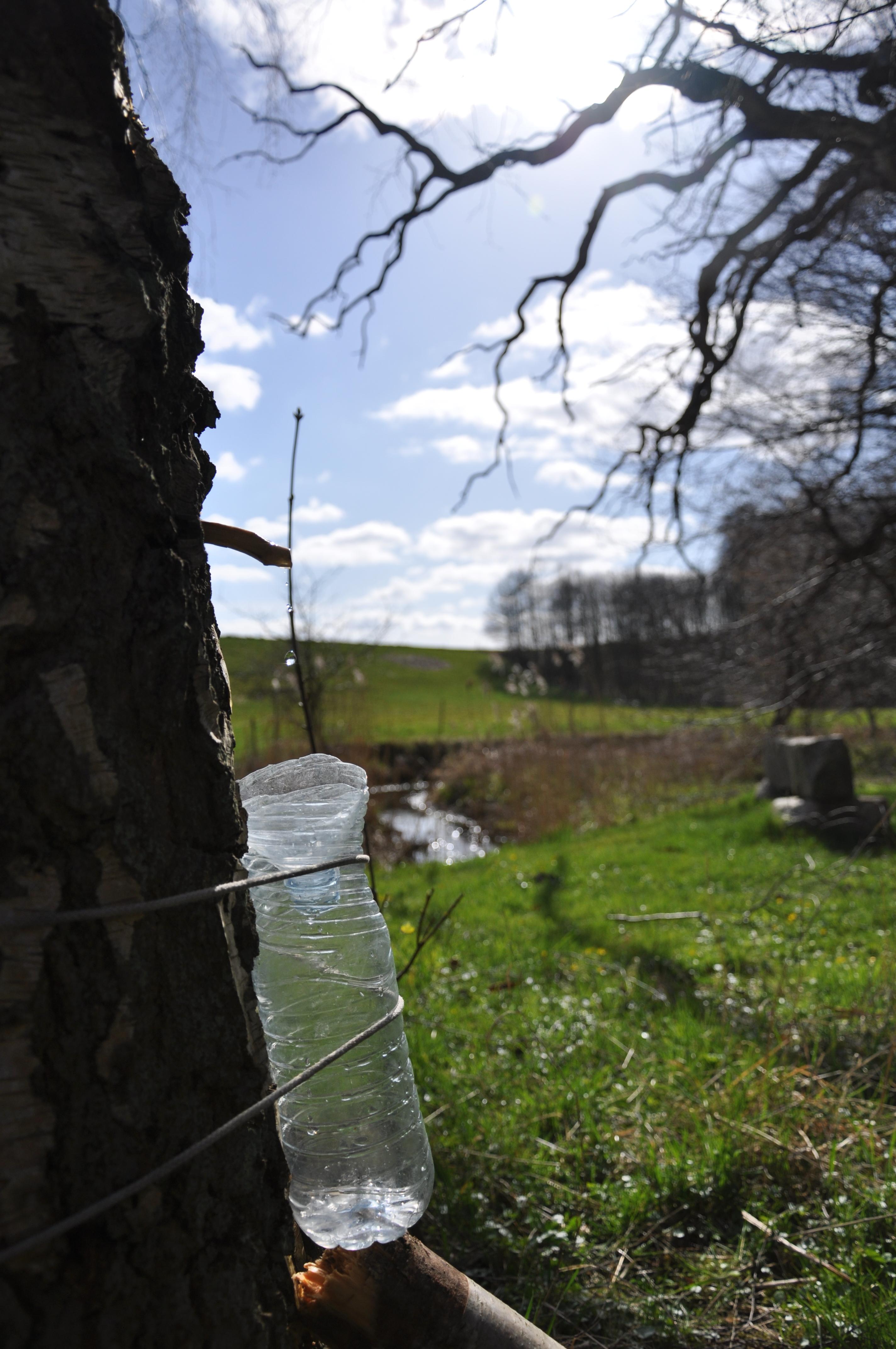 Birketræ tapning af saft i foråret vaerude.dk