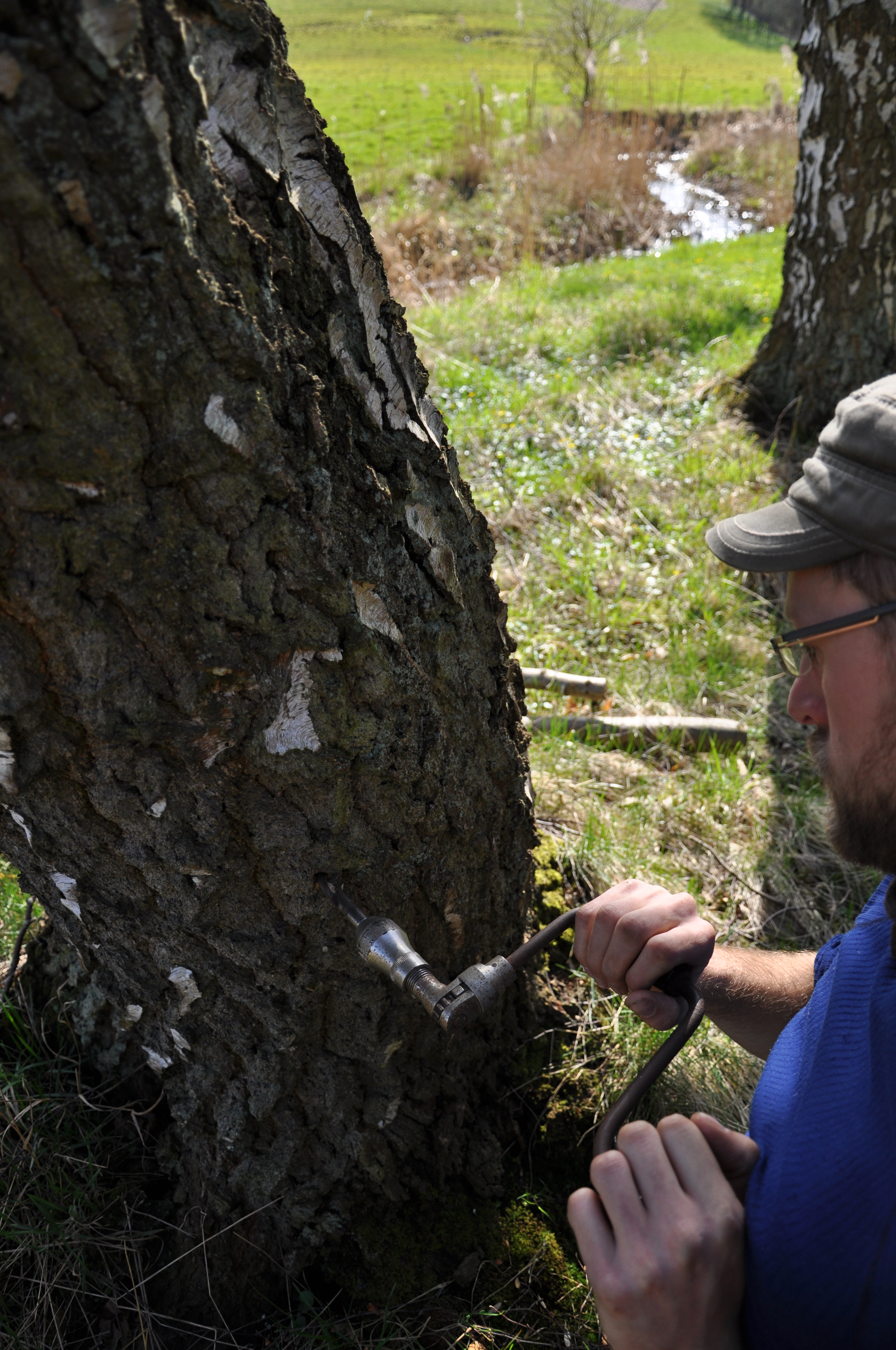 Boring i træer til tapning af birkesaft vaerude.dk