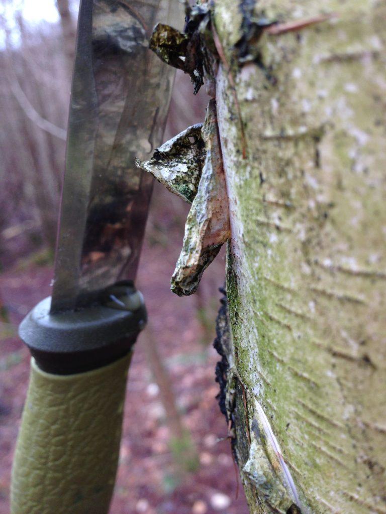 Tapning af birkesaft af birketræ - vaerude.dk